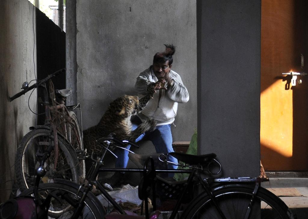 A leopard attacks and wounds Indian labourer Pintu Dey in Guwahati (AFP Photo/STR)