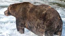 Coronan al oso pardo 747 como el más gordo de Alaska