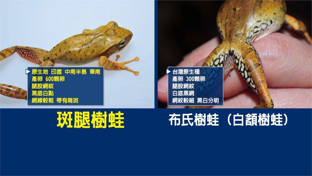 斑腿樹蛙」嚴重威脅本土原生種!民眾揪團抓光光  旅遊- Yahoo奇摩行動版