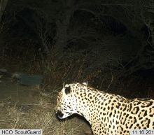 Rare jaguar seen in Arizona mountains feared dead