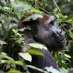 Scientists find lots of gorillas in census, also see decline