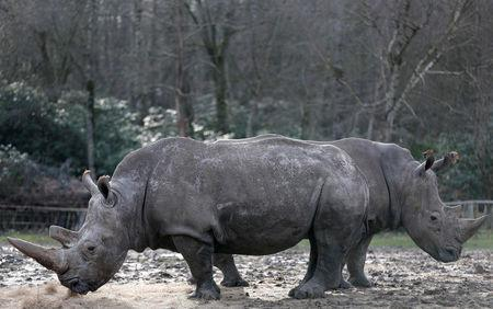 White rhinoceros Bruno (R) and Gracie are seen in their enclosure at Thoiry zoo and wildlife park, about 50 km (30 miles) west of Paris, France, March 7, 2017. REUTERS/Christian Hartmann