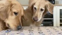 Dogs enjoy DIY whack-a-mole game