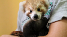 This adorable red panda cub has become inseparable from a teddy that looks just like her