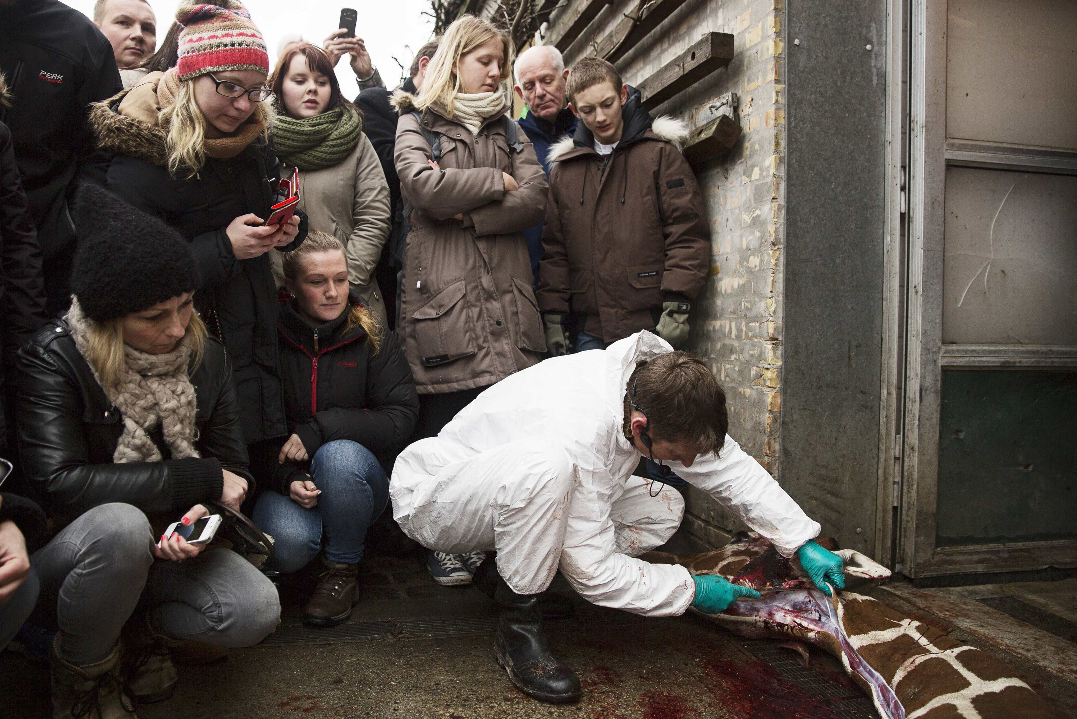 People look on as a veterinarian cuts apart the giraffe Marius after it was killed in Copenhagen Zoo February 9, 2014. The Copenhagen Zoo went ahead with a plan to shoot and dismember a healthy giraffe on Sunday and feed the 18-month-old animal's carcass to lions - an action the zoo said was in line with anti-inbreeding rules meant to ensure a healthy giraffe population. The giraffe, named Marius, was shot in the head and then cut apart in view of children, according to a video of the incident released by the Denmark-based production company Localize. The zoo's plans had sparked an outcry from animal rights activists. A British zoo had offered to give Marius a home and even started an online petition to save the giraffe, gathering more than 25,000 signatures. Picture taken February 9, 2014. REUTERS/Kasper Palsnov/Scanpix Denmark (DENMARK - Tags: ANIMALS SOCIETY) ATTENTION EDITORS - THIS IMAGE HAS BEEN SUPPLIED BY A THIRD PARTY. IT IS DISTRIBUTED, EXACTLY AS RECEIVED BY REUTERS, AS A SERVICE TO CLIENTS. DENMARK OUT. NO COMMERCIAL OR EDITORIAL SALES IN DENMARK