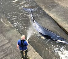 The injured baby whale that was lost in London's Thames river was euthanized after being stranded for the second time.
