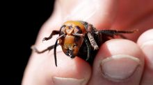 Experts hope to locate Asian giant hornet nests after insect found in Langley