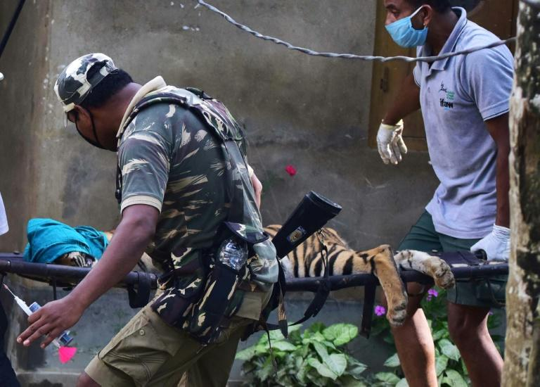 Forest officials carry a tranquillized tiger on a stretcher after it strayed from Kaziranga National Park due to flooding and took shelter in a house at Baghmari village in Assam State (AFP Photo/-)