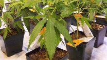 Aurora Cannabis to supply medical pot to Mexico through partnership