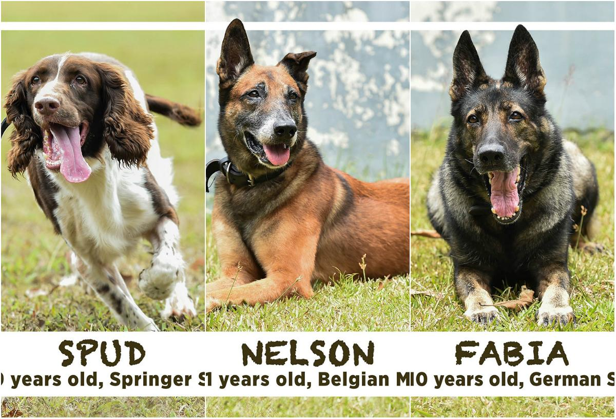 13 retired Singapore military dogs up for adoption