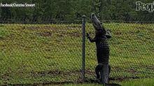 Florida Alligator Caught on Camera Calmly Climbing a Fence
