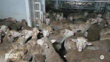 """""""Ils sont littéralement en train de cuire vivants"""" : """"Envoyé spécial"""" enquête sur les conditions de transport parfois scandaleuses des animaux"""