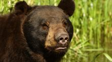 Jerk bear crushes camper's tent and gets her arrested on outstanding warrant