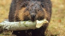 Beavers to be 'relocated' after gnawing trees at Summerside park