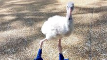 Baby flamingo getting new shiny blue booties is the cutest thing you'll see today