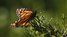 All aflutter: Extreme weather threatens Mexico's monarchs