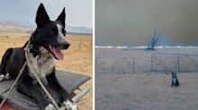 Courageous dog saves hundreds of sheep from bushfires