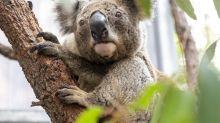 Koala Arnie ertrinkt wegen gut gemeinter Hilfe