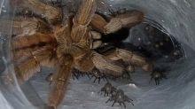 Spagna, allevamento illegale di 400 tarantole: uomo denunciato