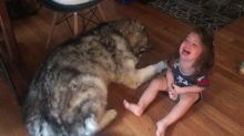Patient Alaskan Malamute and little girl share a howl together