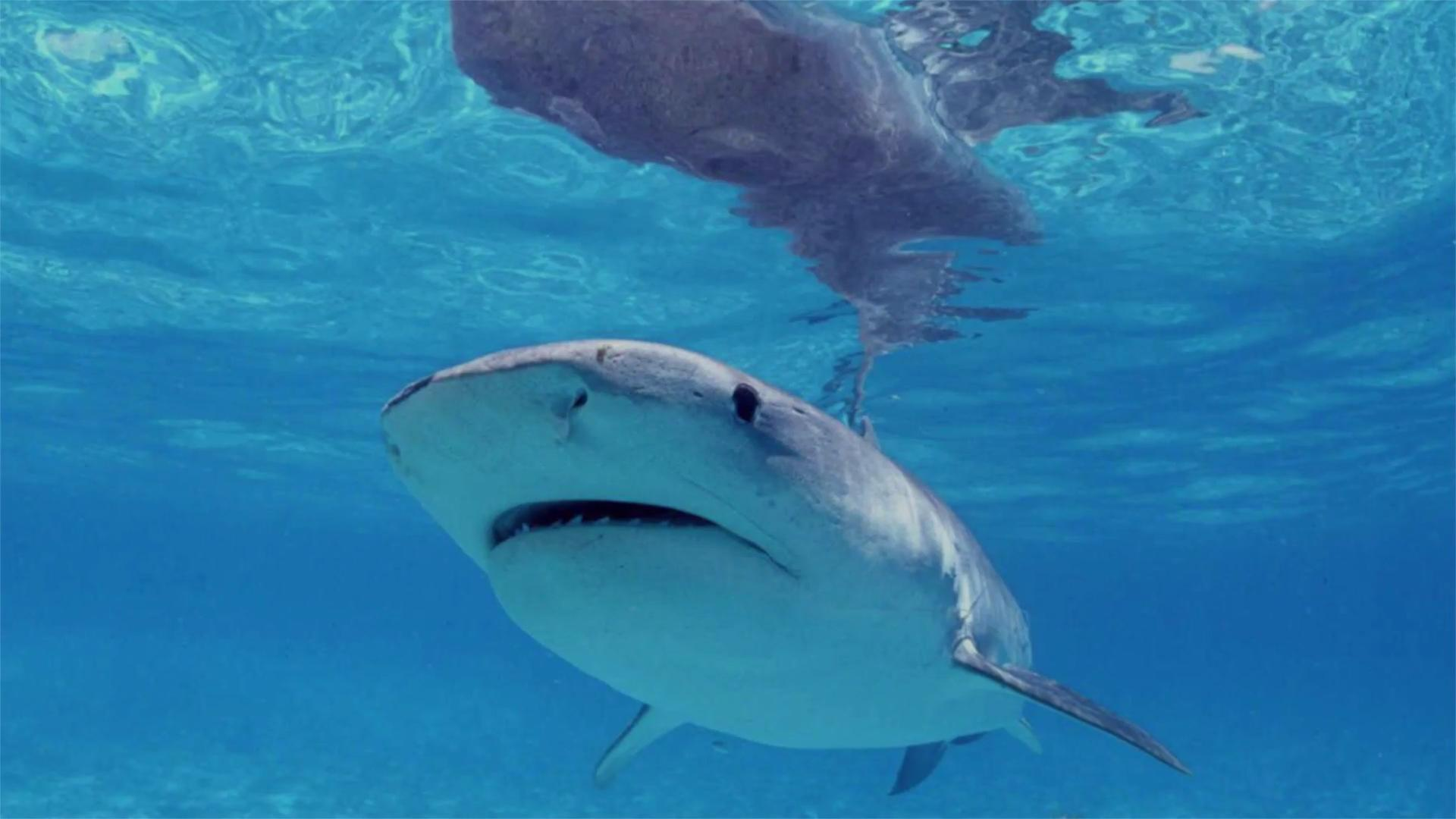 نتيجة بحث الصور عن Swimmer + shark