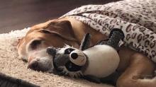 ¿Con qué sueñan los perros y tienen pesadillas?