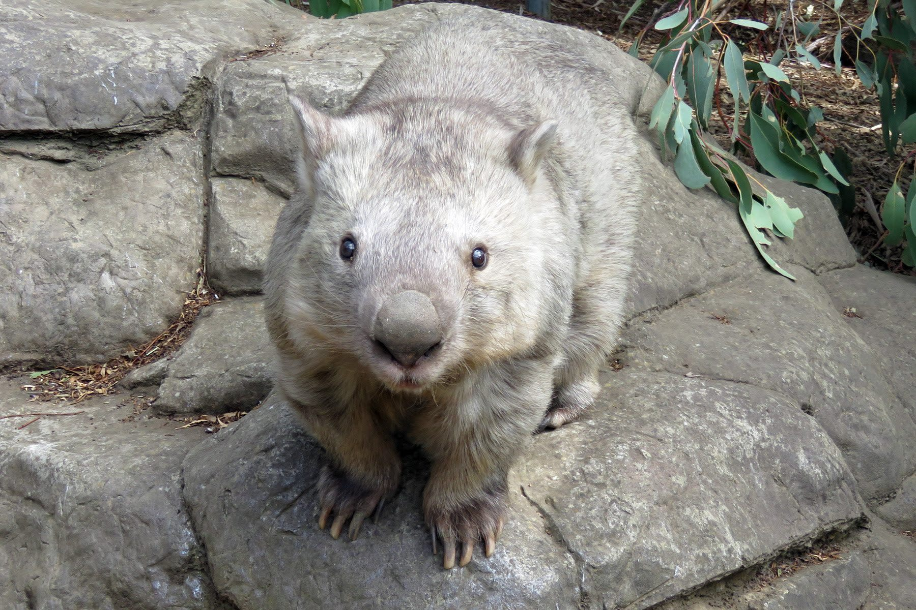 Zoo heartbroken over death of world's oldest wombat - but her legacy will live on