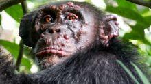 Lepra, el viejo enemigo de la humanidad que ataca a los chimpancés