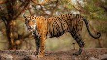 International Tiger Day 2019: 10 Interesting Facts to Know about the Big Cats