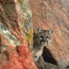 Probe into rare cougar attack in US that left one dead