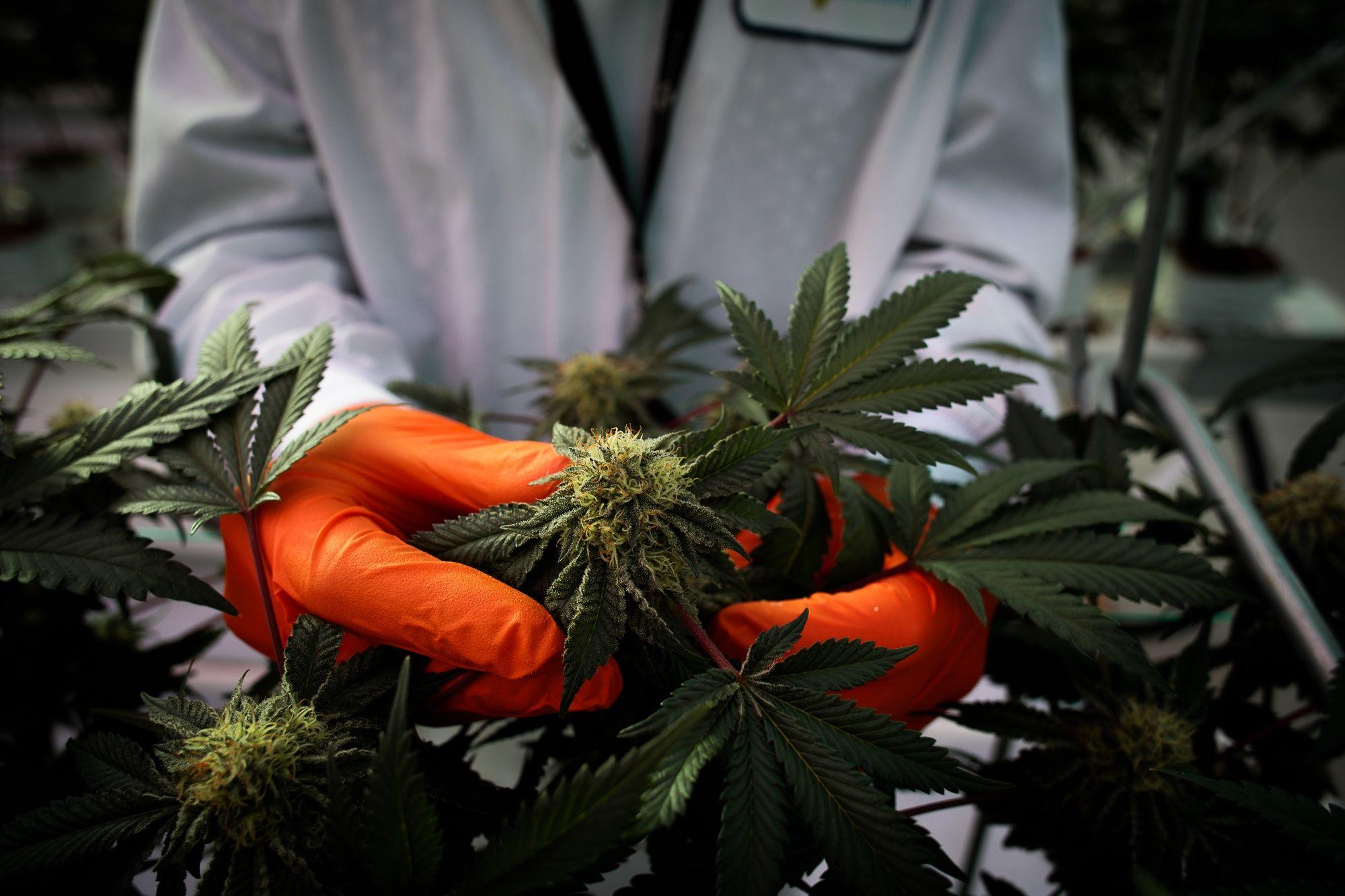 Tilray Surges as Cannabis Poised to Benefit After Lockdown