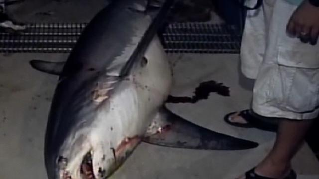 650-pound shark caught in Fla.