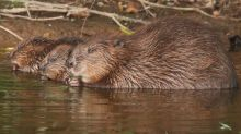 Beaver families win legal 'right to remain'