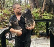 Fires, then floods: How much can a koala bear?