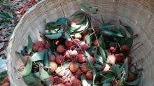 【一天團】今年荔枝豐收了!