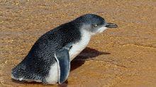 Dismay at 'lenient' Australian penguin killer sentence