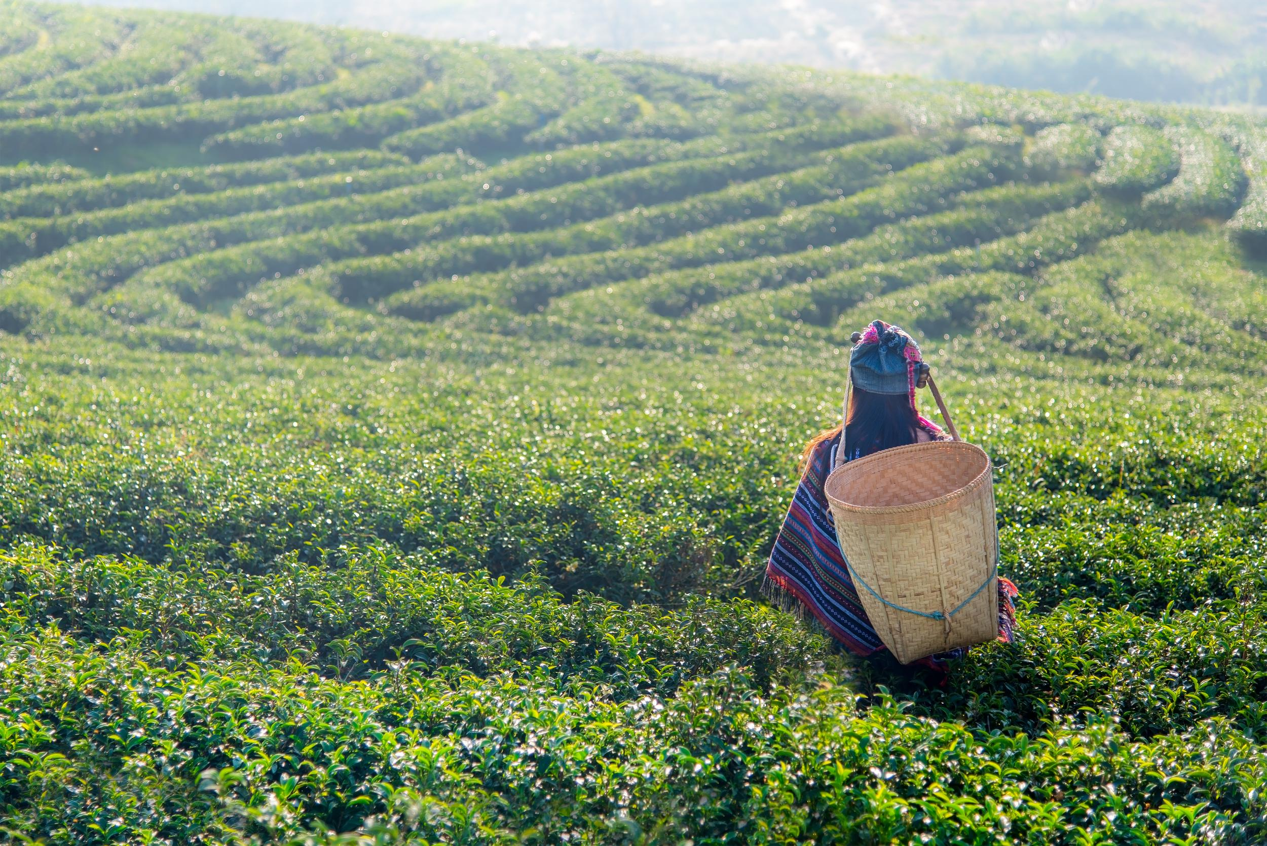 Asia worker women were picking tea leaves for traditions at a tea plantation in the garden nature. Lifestyle Concept
