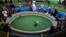 Puerto Rico defiende las peleas de gallos de la prohibición de EEUU