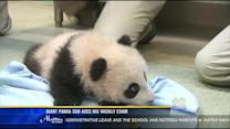 Giant panda cub aces his weekly exam