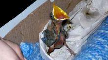 Qué hacer si se encuentra un pichoncito que se cayó del nido