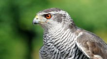 Missing hawk reunited with owner after disappearing for EIGHT YEARS