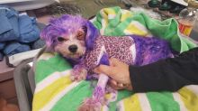 This dog almost died from severe burns after being dyed purple