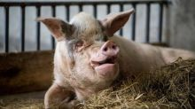 Strong-Willed Pig: Animal that survived Sichuan earthquake dies