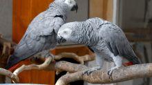 Des perroquets retirés d'un zoo anglais parce qu'ils insultaient les visiteurs