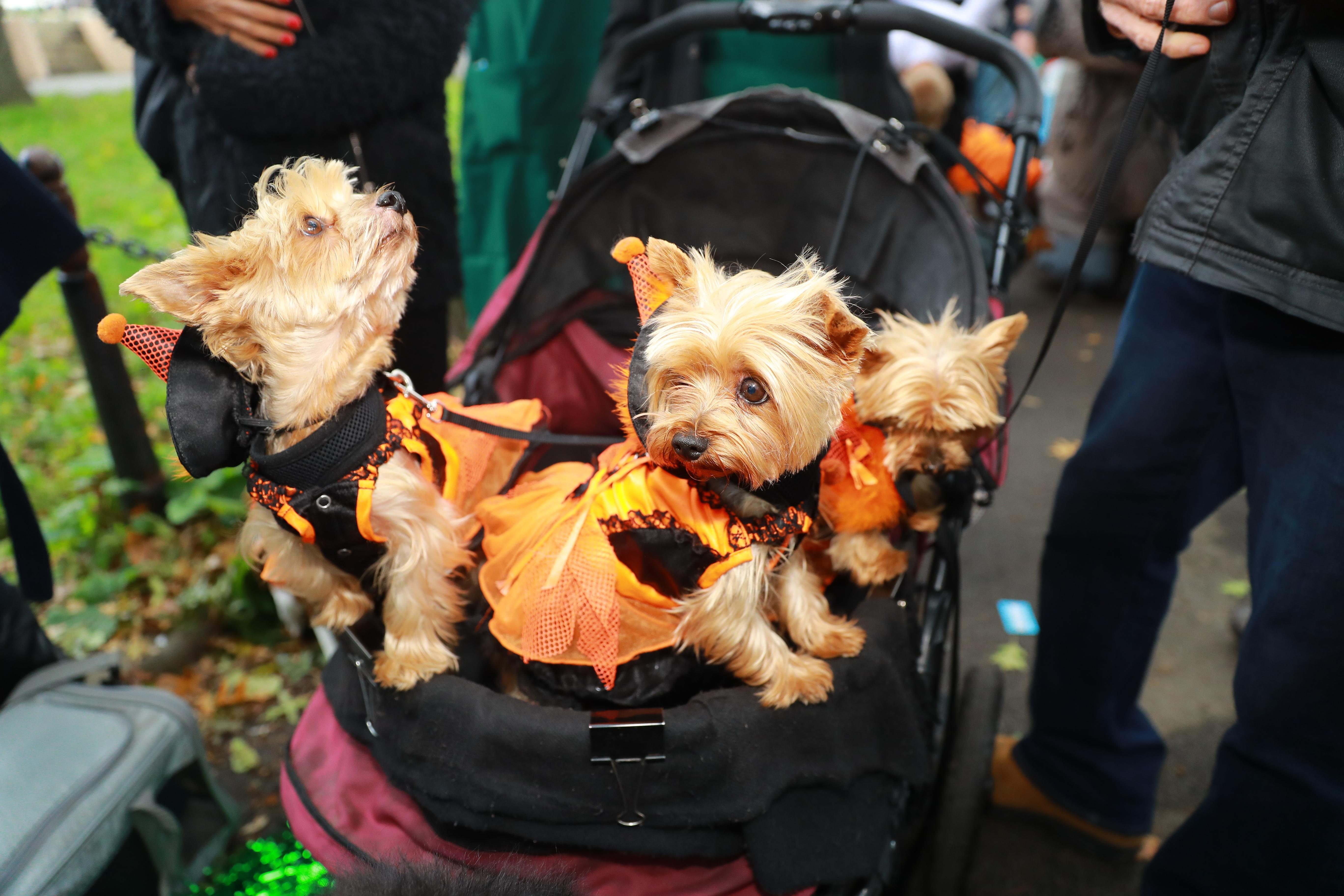 <p>A carriage of Yorkies in dresses attend the 28th Annual Tompkins Square Halloween Dog Parade at East River Park Amphitheater in New York on Oct. 28, 2018. (Photo: Gordon Donovan/Yahoo News) </p>