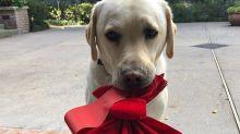 Qué pasará ahora con Sully, el perro que acompañó a George H.W. Bush hasta el final