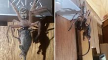 Incredible photos show spider eating baby possum
