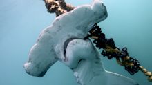 Court ruling prevents the catch and kill of sharks on the Great Barrier Reef