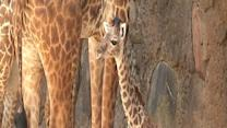 Cute Alert: Baby Giraffe Makes Houston Zoo Debut