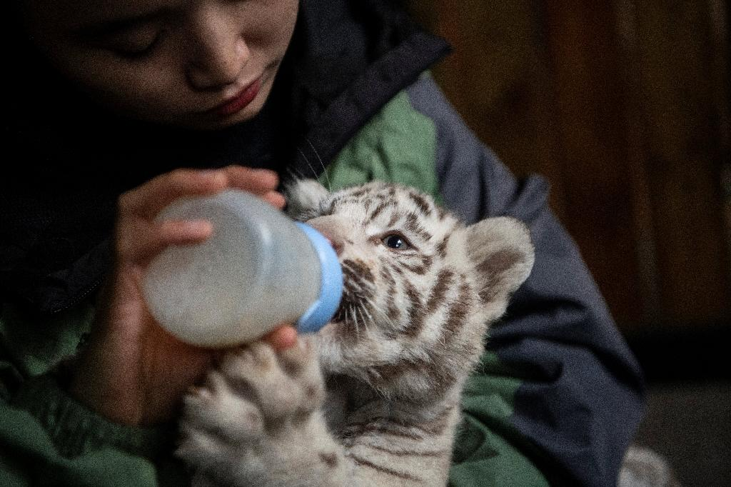 Breeders help the new mother feed the cubs and assist with looking after them (AFP Photo/FRED DUFOUR)